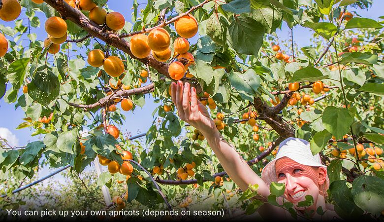 You can pick up your own apricots (depends on season)