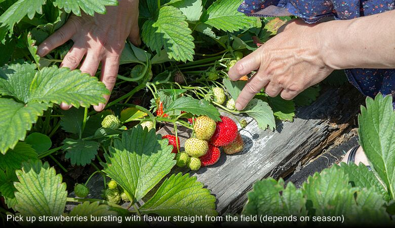 Pick up strawberries bursting with flavour straight from the field (depends on season)