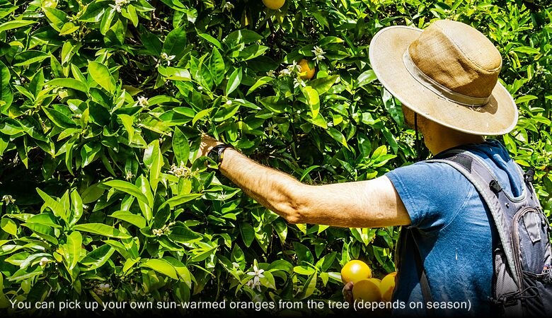 You can pick up your own sun-warmed oranges from the tree (depends on season)
