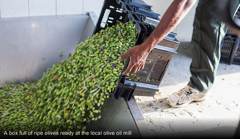 A box full of ripe olives ready at the local olive oil mill