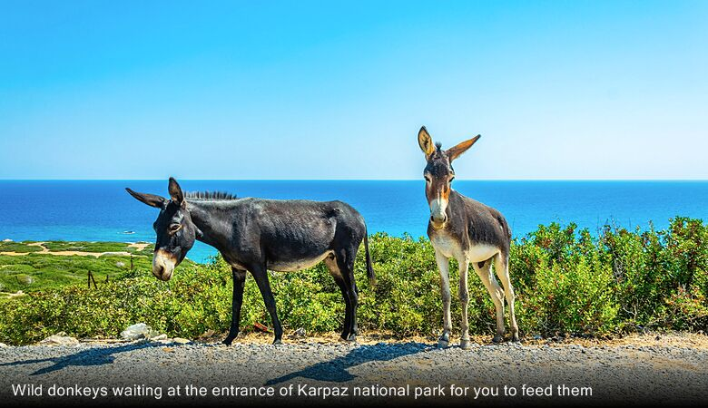 Wild donkeys waiting at the entrance of Karpaz national park for you to feed them